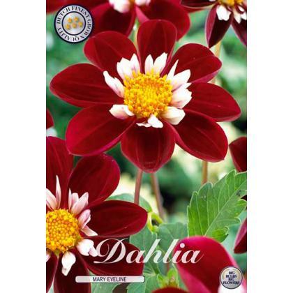 Dahlia - Mary Eveline 1ks