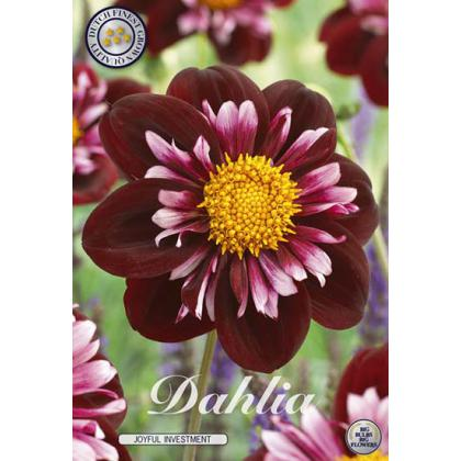 Dahlia -Joyfull Investment 1ks