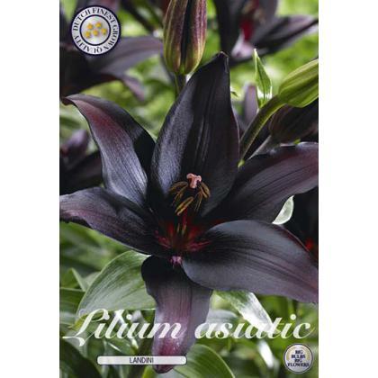 Lilium - Blacklist 2ks