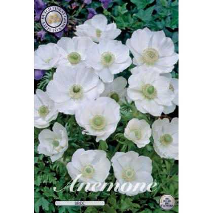 Anemone Coronaria - Bride 15ks