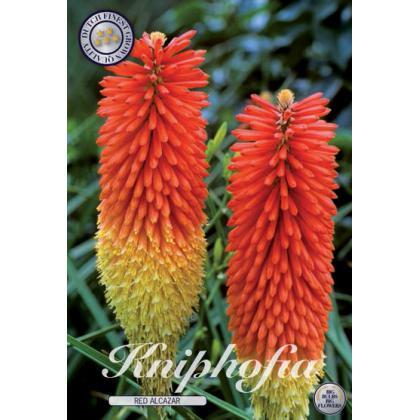 Kniphofia - Red Alcazar 1ks