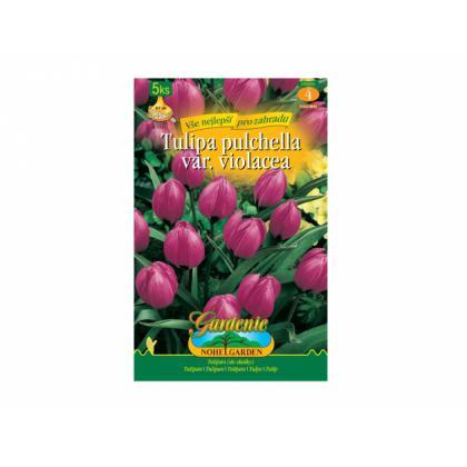 Tulipán botanický 5ks