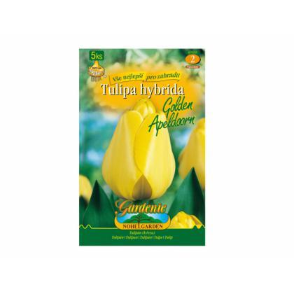 Tulipán, Darwinowy hybridy- Golden Apeldoorn 5ks