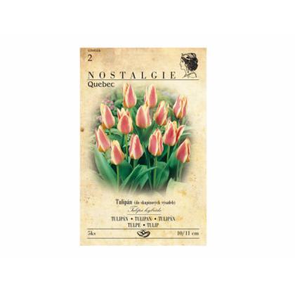Tulipán, Greigii hybridy - Quebec 5ks