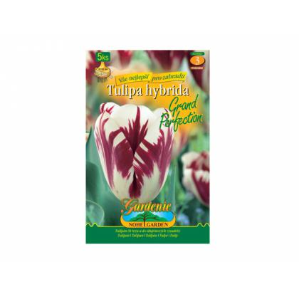 Tulipán rembrandt- Grand Perfection 5ks