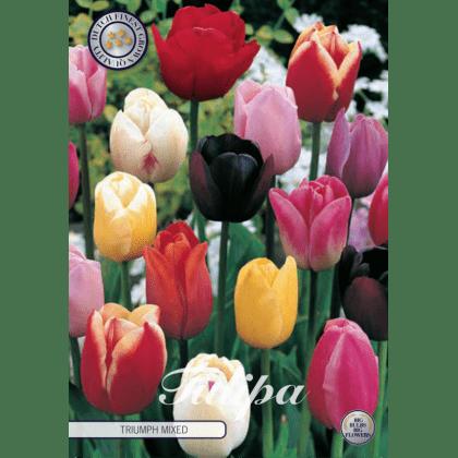Tulipán triumph mix 10ks