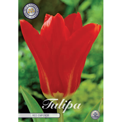 Tulipán Fosteriana- Red Emperor 10ks