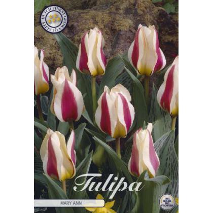 Tulipán Greigii- Mary Ann 10ks