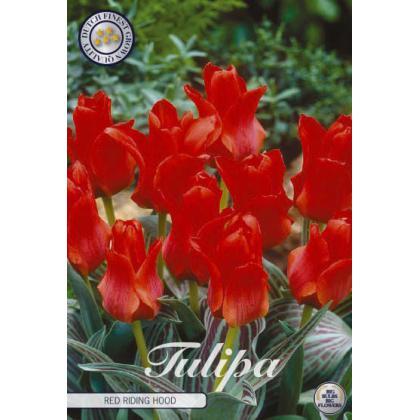 Tulipán Greigii- Red Riding Hood 10ks