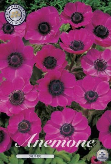 Anemone - The Caen Pink 15ks