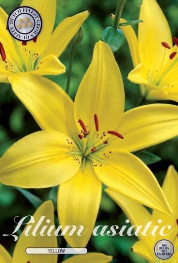 Lilium asiatic - Yellow 2ks