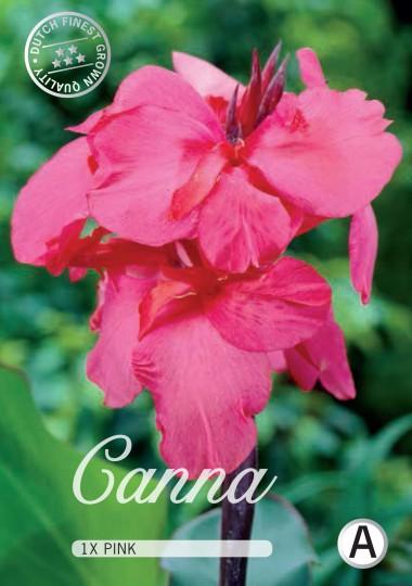 Canna - Pink 1ks
