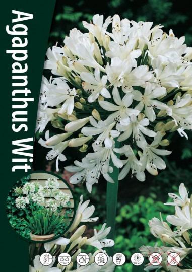 Agapanthus - White 1ks