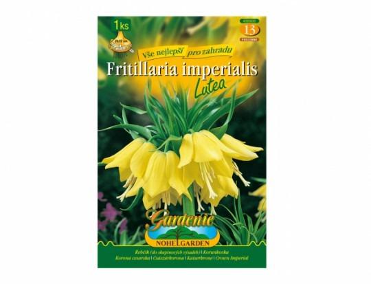 Fritillaria(korunkovka) - Lutea 1ks