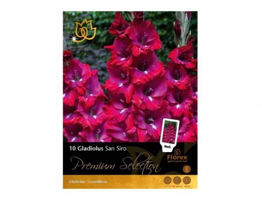 Gladiolus SAN SIRO 10ks