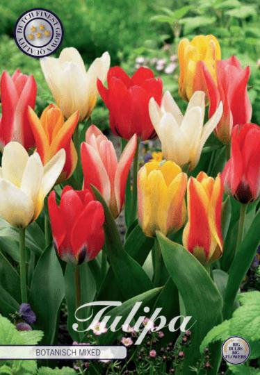 Tulipán Kaufmanniana- Botanisch Mixed 10ks