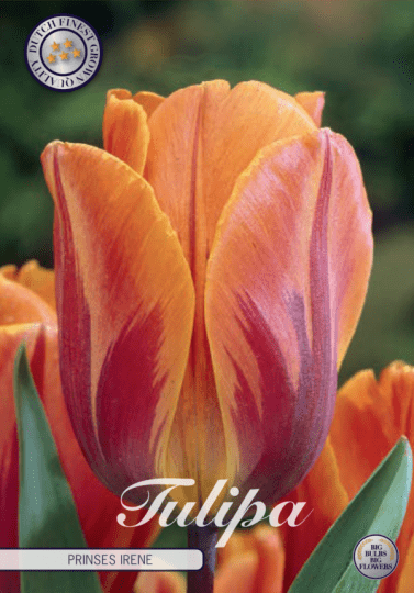 Tulipán triumph- Prinses Irene 7ks
