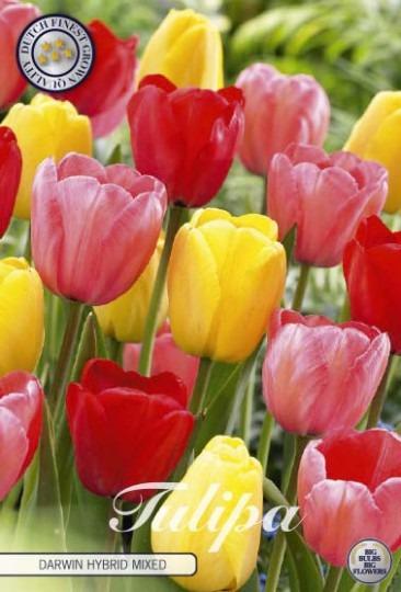 Tulipán Darwin Hybrid Mix 10ks