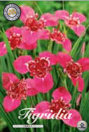 Tigridia - Lilacea 10ks