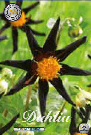 Dahlia - Verrone´s Obsidian 1ks