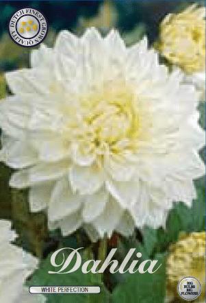 Dahlia - White Perfection 1ks
