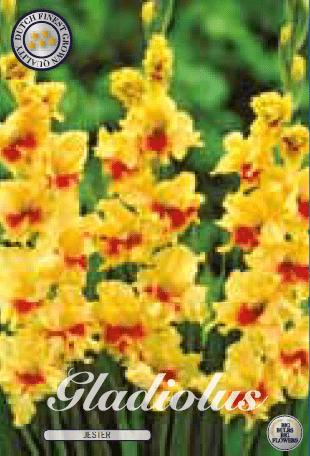 Gladiolus - Jester 10ks