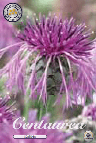 Centaurea - Scabiosa 1ks