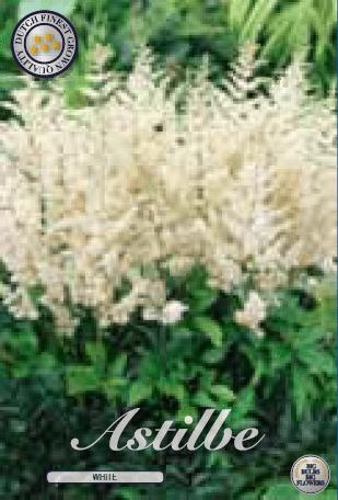 Astilbe - White 1ks