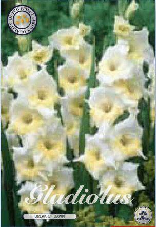 Gladiolus - Break of Dawn 10ks