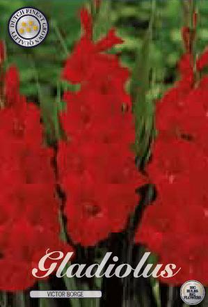 Gladiolus - Victor Borge 10ks