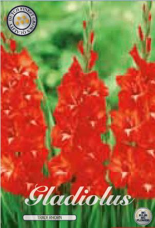 Gladiolus - Traderhorn 10ks