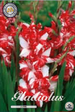 Gladiolus - Zizanie 10ks