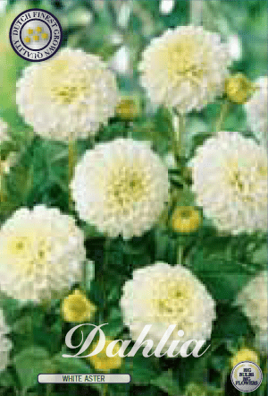 Dahlia - White Aster 1ks