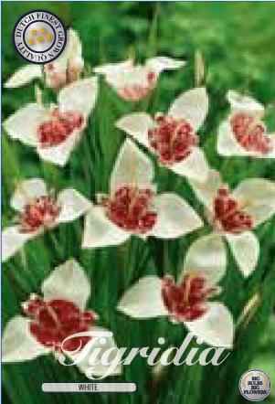 Tigridia - White 10ks