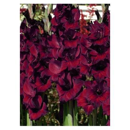 Gladiolus - Balck Star 6ks